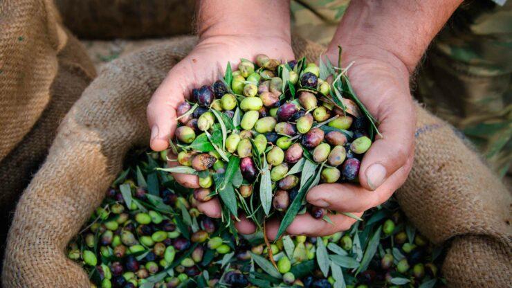 Peloponnesos olijven plukken