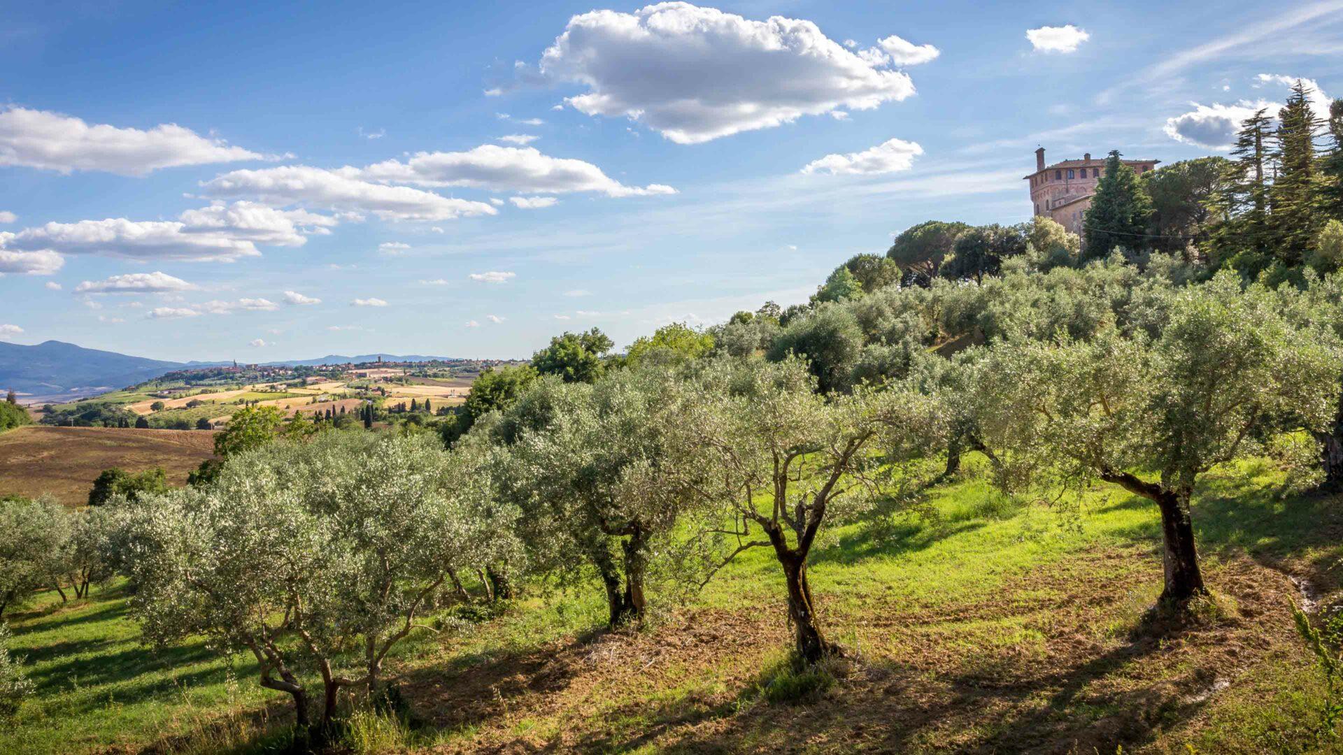 Olijfgaarden Toscane