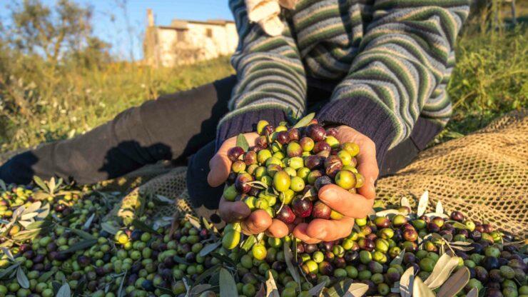 Olijven plukken Toscane