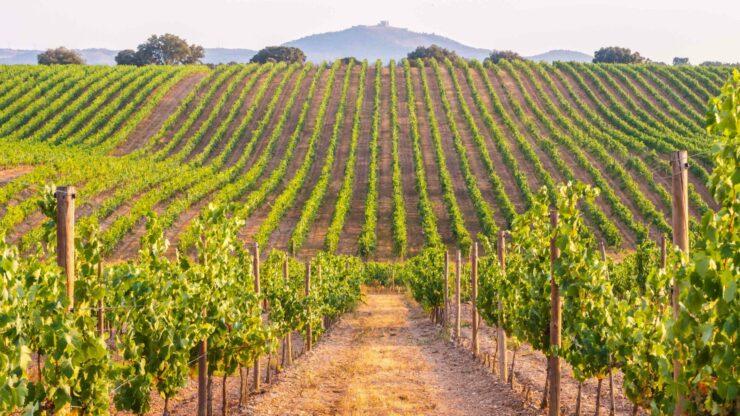 Alentejo wijngaarden