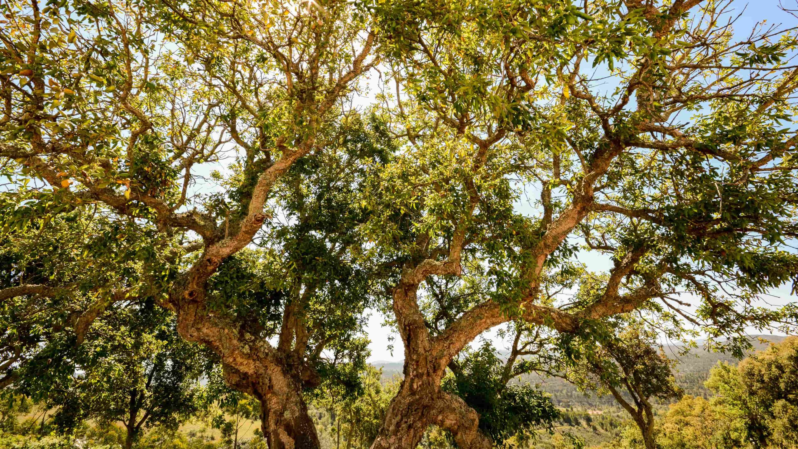 Algarve kurk bomen
