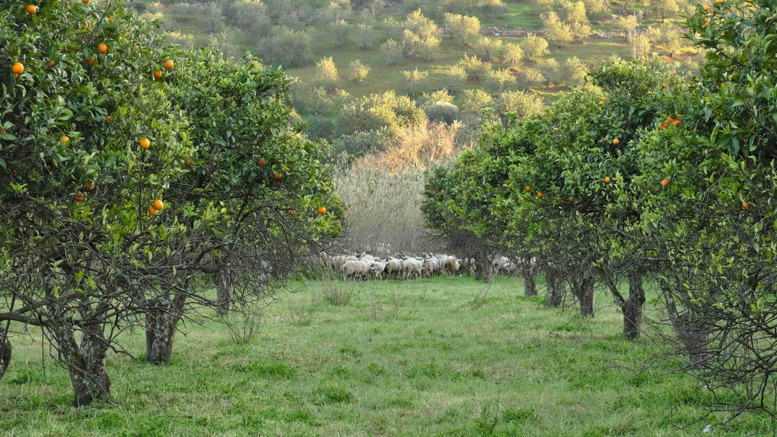 Algarve sinaasappelbloesem
