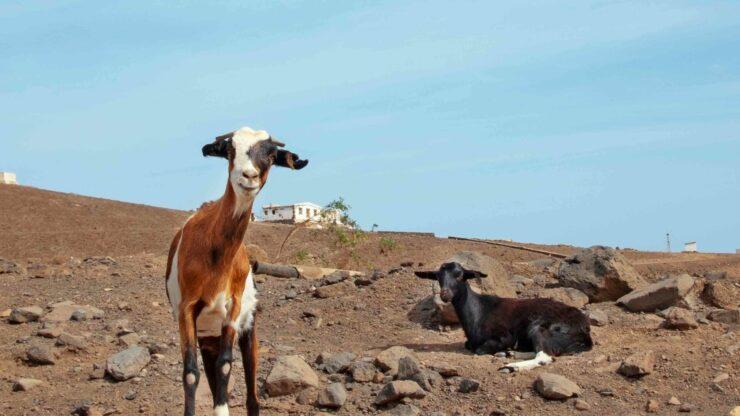Fuerteventura geitenboerderij