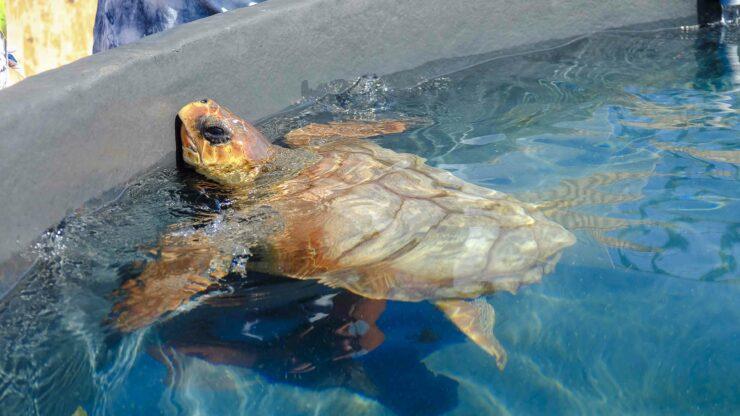 Fuerteventura schildpad